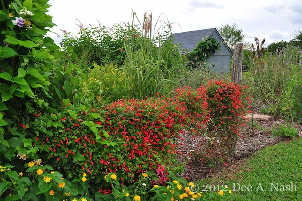 A garden bed with Manettia cordifolia at Bustani Plant Farm. I took this photo in September 2012.