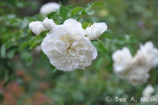 Rosa 'White Meidiland,' a shrub rose from France, that is extremely easy to grow. It has arching canes that would respond well to the practice of pegging. Taken October 10, 2012