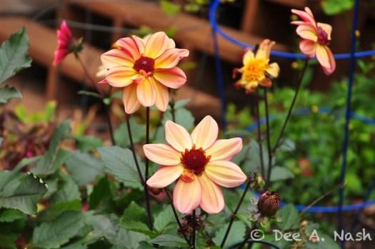 Dahlia 'LoLo' with dark stems.