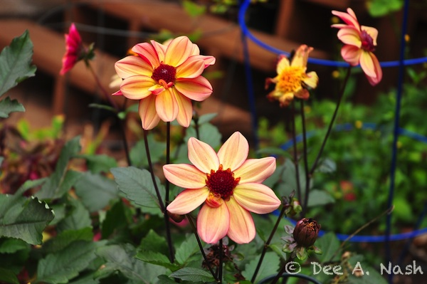 Dahlia 'LoLo' with dark stems.