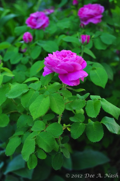 Five beautiful, easy-to-grow roses for Oklahoma and the central south