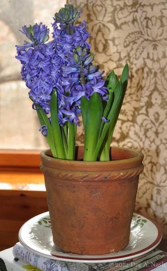 hyacinth-imp