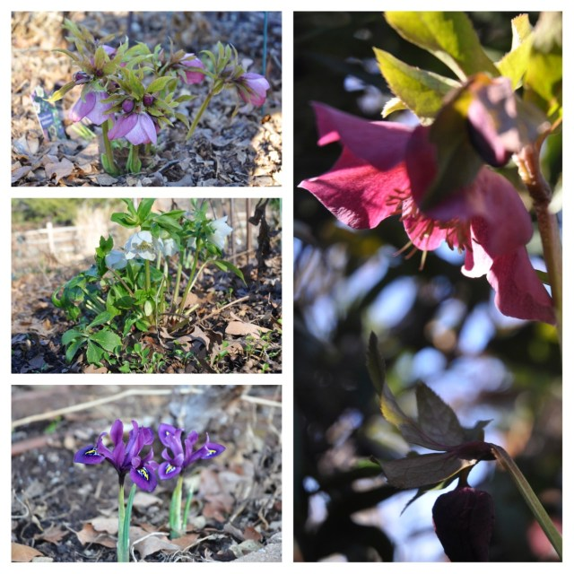 Hellebores and Iris reticulata
