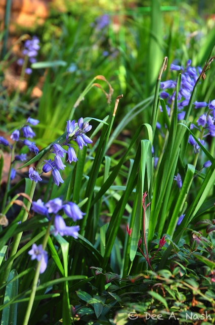 Hyacinthoides hispanica, Spanish bluebells, in the border next to the garage.