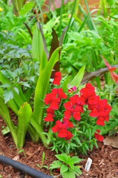 Glorious red snapdragons with soaker hoses underneath.