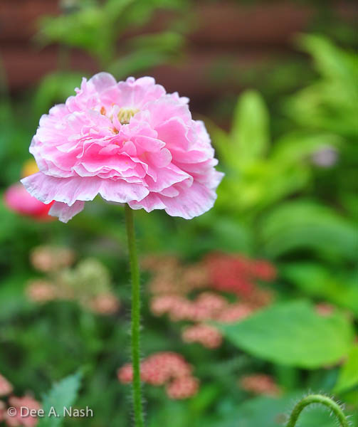 One of the Flemish Antique Peony Poppies I sowed seeds for in February.