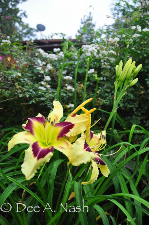 Hemerocallis 'Hold Your Horses' (Trimmer 2004) is new to the garden.