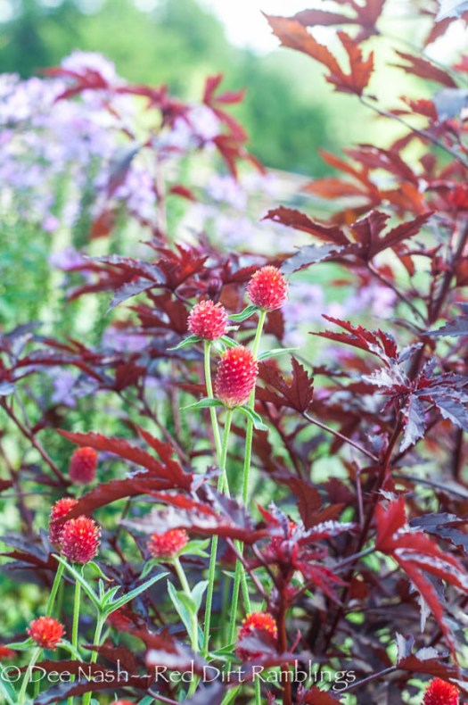 Red Gomphrena globosa, globe amaranth, with 'Haight Ashbury' hibiscus. Doesn't it look like marijuana?