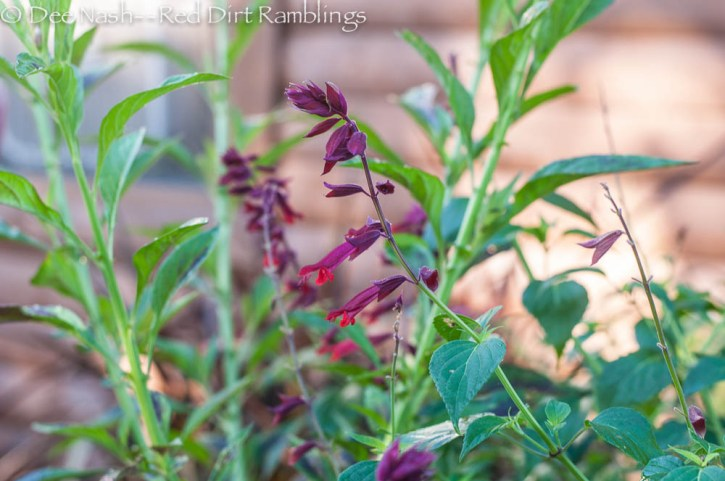 Salvia splendens 'Van Houttei' in the side garden.