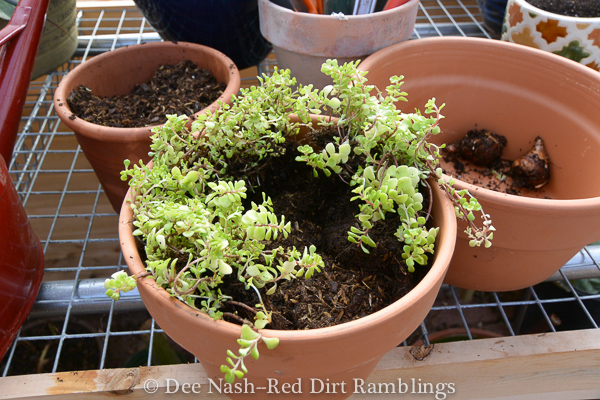Sedum in the pot for narcissus bulbs