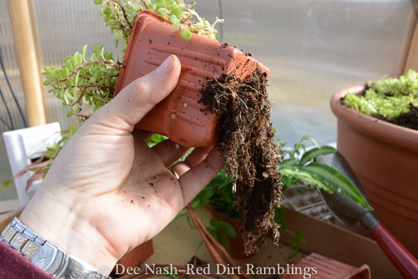 It doesn't hurt to tear these roots off of the bottom of the sedum.