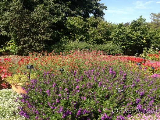 Gomphrena globosa at the Missouri Botanical Garden in St. Louis, probably 'Strawberry Fields', but I'm not sure.
