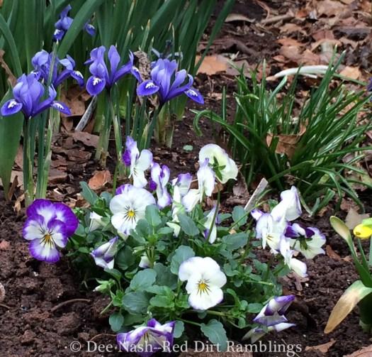 Iris reticulata 'Harmony'
