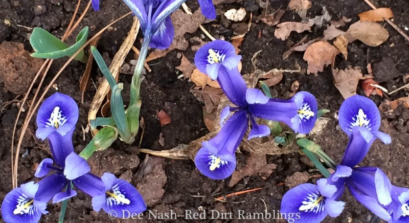 Iris reticulata 'Harmony'--sometimes seeing a flower from above or below gives you a completely different perspective.