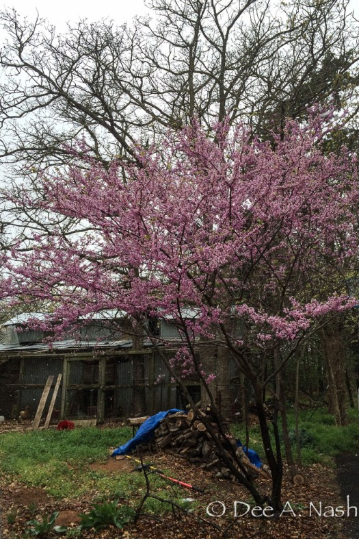 This photo of a native redbud up beside the chicken run and barn isn't one of my best because of the woodpile cover, but I wanted you to see how beautiful the redbuds are this year before the freeze.