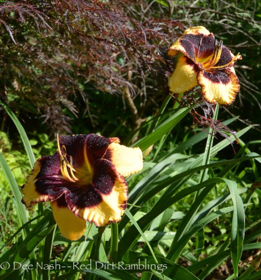 Hemerocallis 'Black Sheep' (D. Trimmer 2010)