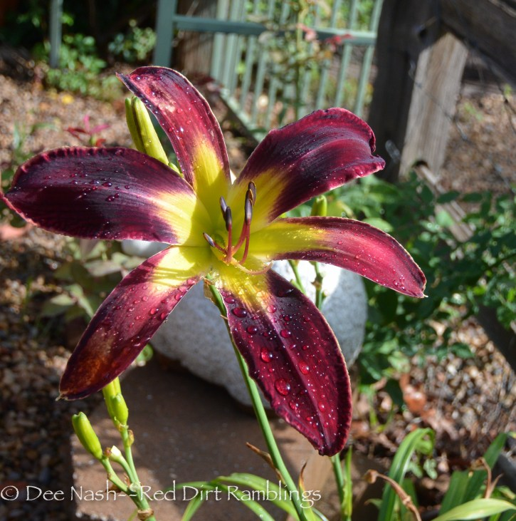 Hemerocallis 'Inky Fingers' isn't my favorite because there are so few scapes on this plant. I may remove it next year.