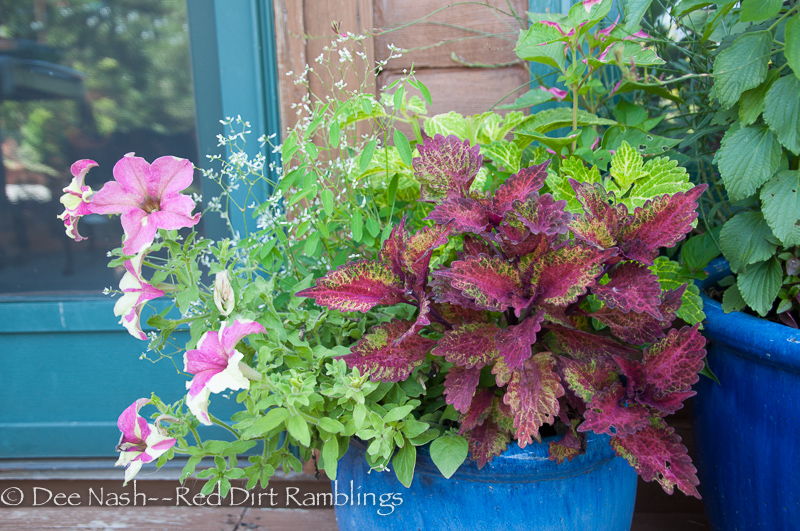In this pot are, Petunia Sophistica Lime Bicolor', 'Partytime' alternanthera, Coleus 'Electric Lime', Diamond Frost euphorbia and 'Indian Summer' coleus