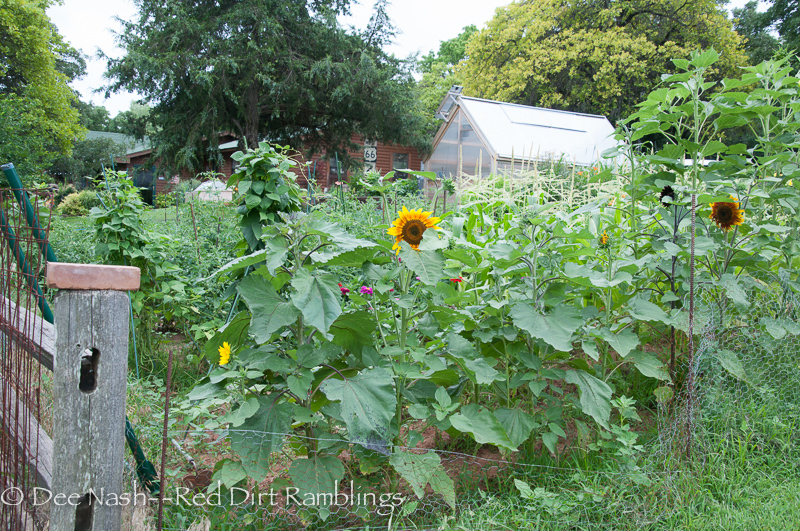 There are zinnias hiding behind those sunflowers in the vegetable garden.