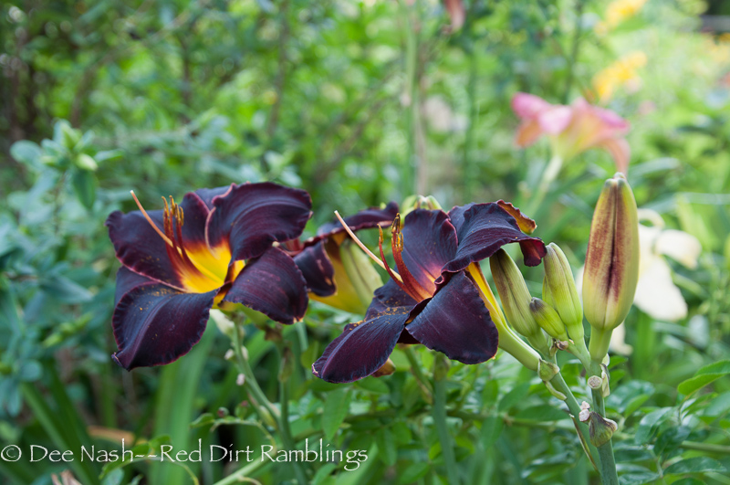 Hemerocallis 'Derrick Cane' (Brooks-B., 1992) is my darkest daylily. Planted with a bit of afternoon shade, it holds its nearly black color all day.