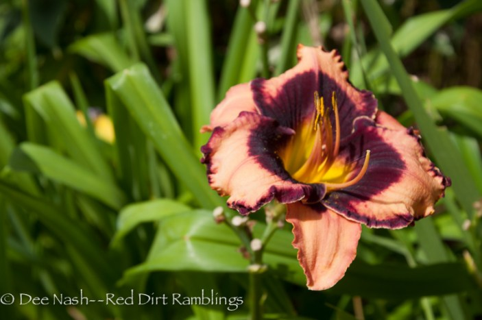 Even Hemerocallis 'Eyes on the Prize' (Emmerich 2002) has a heart of darkness. Just kidding.