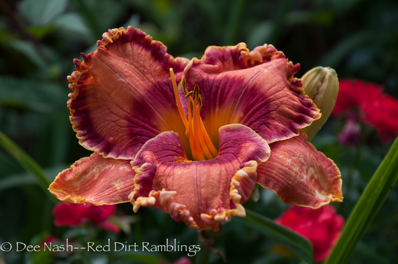 H. 'Wild Apple Autumn' (Trimmer 2010) is one of my absolute favorites this year. Such gorgeous color. Photo is not enhanced.