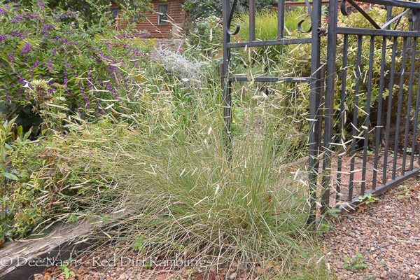 Bouteloua gracilis 'Blonde Ambition' blue grama grass is so pretty with its eyebrows.