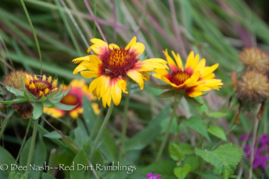 Gaillardia x grandiflora 'Mesa Bright Bicolor' blanket flower.
