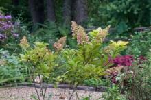 Hydrangea paniculata 'Pinky Winky.'