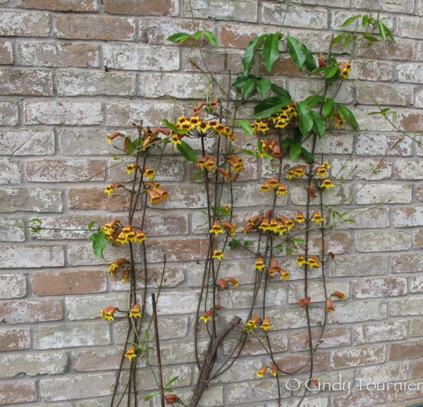 Thank you to Cindy of My Corner of Katy for her photo of crossvine. Mine has never taken off. I think it's where I planted it. Too much shade. It likes heat.