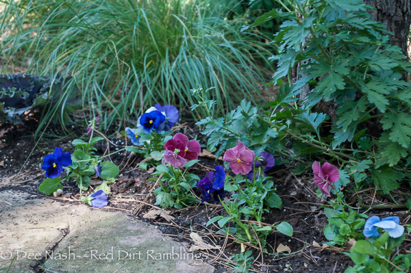 Delta Mixed Berry Tart pansies in a mixed border. The hardy mums above them will soon bloom.