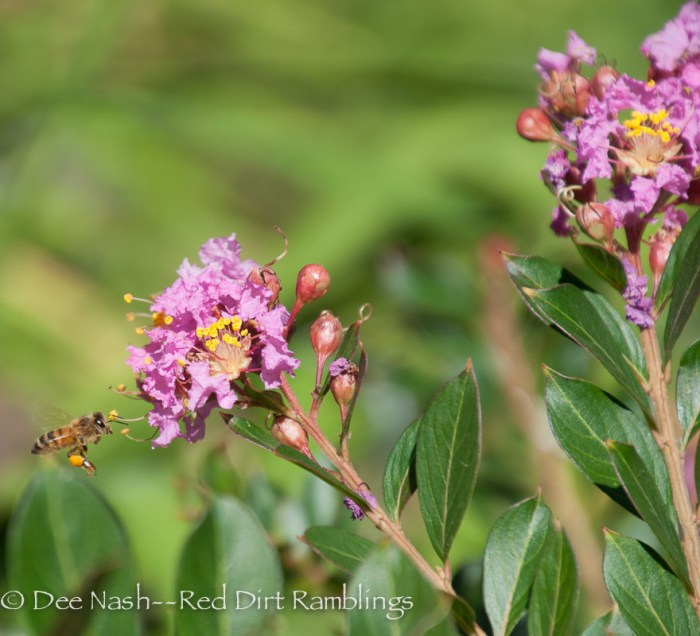 Honeybee flying in to Chickasaw crapemyrtle.