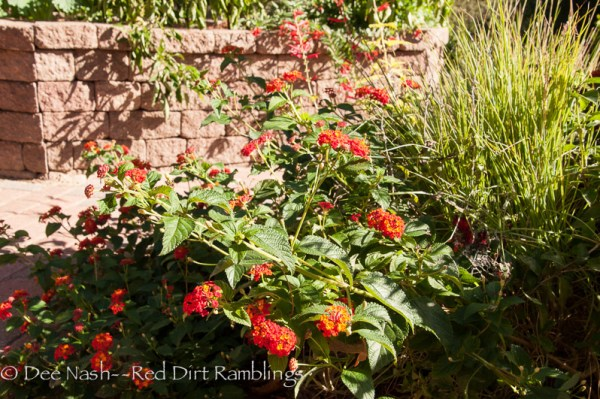 Lantana camara 'Dallas Red' next to 'Pink Crystals' fountain grass which bloomed earlier.
