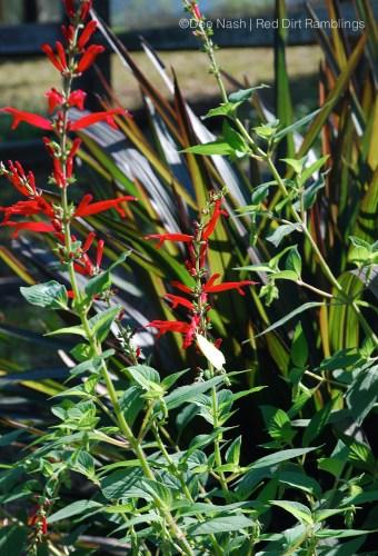 Pennisetum 'Pince' with Saliva elegans, pineapple sage.