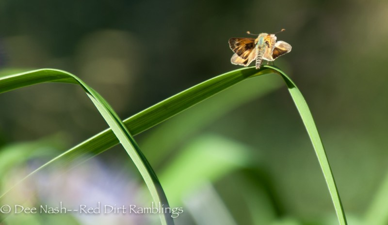 Skipper butterfly resting on daylily foliage.