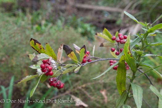 My tiny chokecherry tree, Prunus virginiana, is loaded with berries this year.