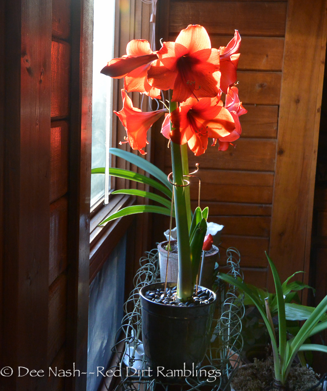 A red amaryllis I grew last year.