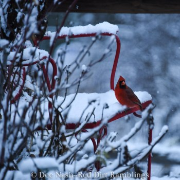 Cardinal on red chair in the snow. Red birds in the snow