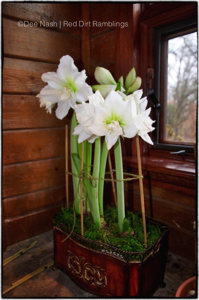 Christmas flowers like 'White Nymph' hippeastrum/amaryllis Dee Nash