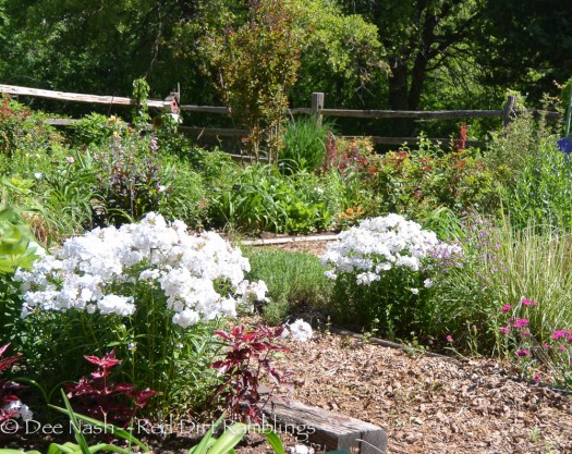 My two clumps of P. x 'Minnie Pearl' phlox in the lower part of the back garden.