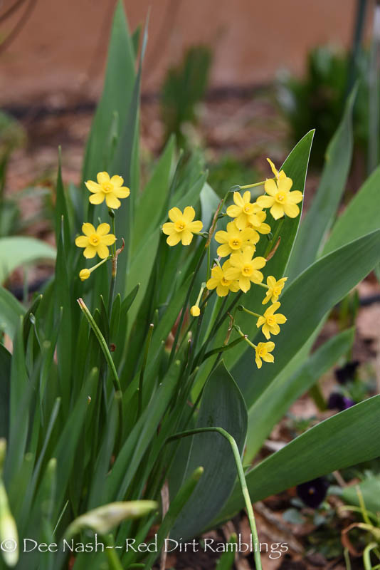 Narcissus 'Early Louisiana'