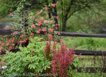 Hydrangea quercifolia 'Ruby Slippers,' Berberis thunbergii 'Orange Rocket,' (not native) and Lonicera sempervirens, American honeysuckle, the 2014 Wildflower of the Year.
