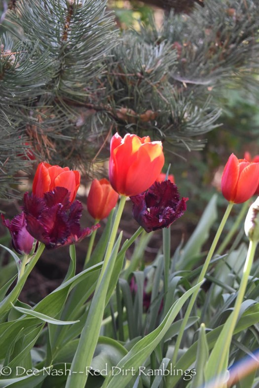 'Kingsblood' and 'Black Parrot' tulips in the front border. --Red Dirt Ramblings