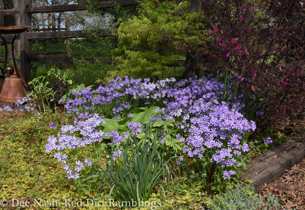 Beautiful Phlox divaricata, woodland phlox in the spring garden.