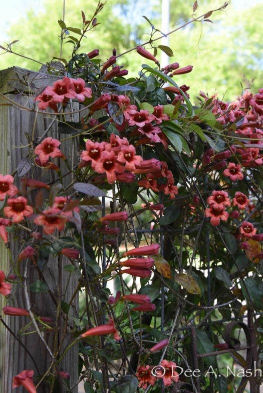 Bignonia capreolata, crossvine,