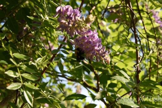 Closeup of bumble on wisteria.