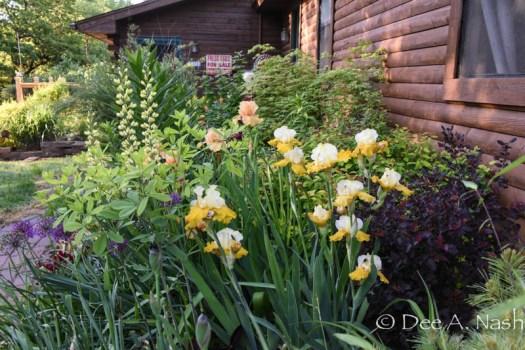 Irises, peonies and roses light up May Day. Yellow and peach irises, 'Carolina Moonlight' baptisia, 'Center Glow' ninebark and variegated 'Peaches and Cream' Japanese maple (at rear)