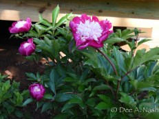 Paeonia 'White Cap' purchased from Song Sparrow Nursery years ago.