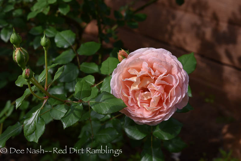Rosa' Abraham Darby.' He's also in the feature photo, above.