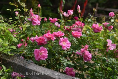 For my rose lovers, here's a eye candy shot of Rosa 'Carefree Beauty' is still well.